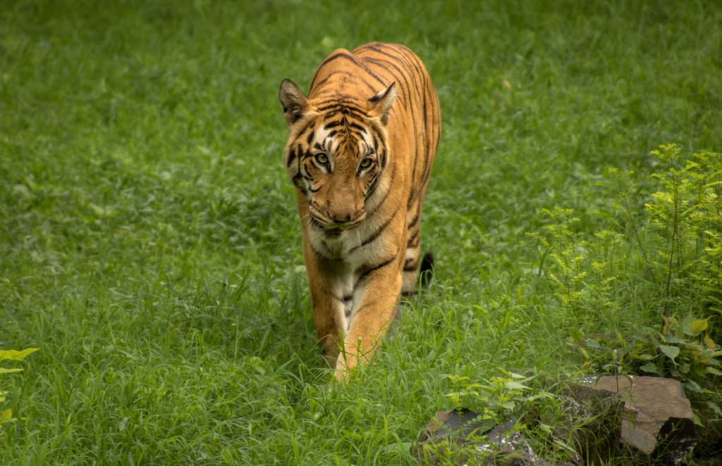 Indian Bengal tiger walks though a grassland at Sunderban tiger reserve